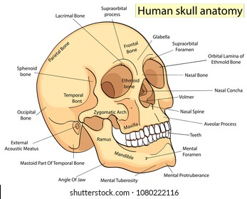 Medical Education Chart of Biology for Human Skull Diagram. Vector illustration. Front aspect table on white background for basic medical education