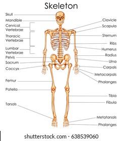 Medical Education Chart of Biology for Human Skeleton Diagram. Vector illustration