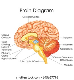 medical education chart biology human 260nw 645657796 medical education chart biology digestive system stock vector