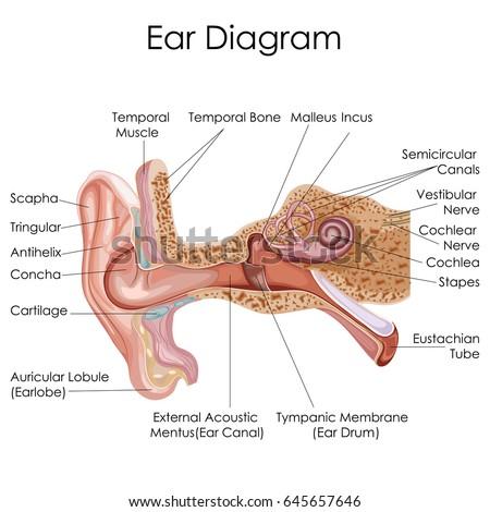 Medical Education Chart Biology Human Ear Stock Vector Royalty Free