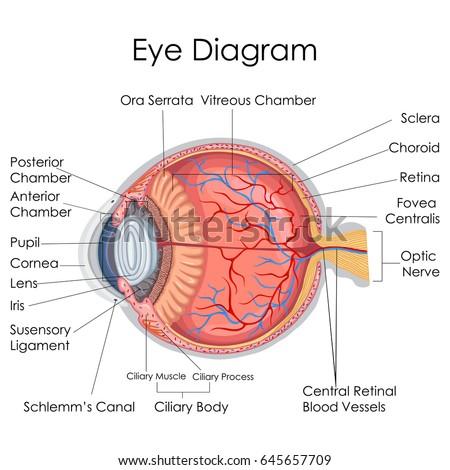 Medical Education Chart Biology Human Eye Stock Vector Royalty Free