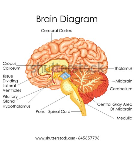 medical education chart biology human brain stock vector (royaltymedical education chart of biology for human brain diagram vector illustration