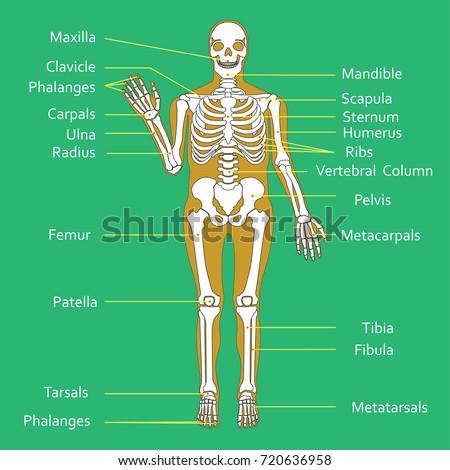 Medical Education Chart Biology Human Skeleton Stock-Vektorgrafik ...