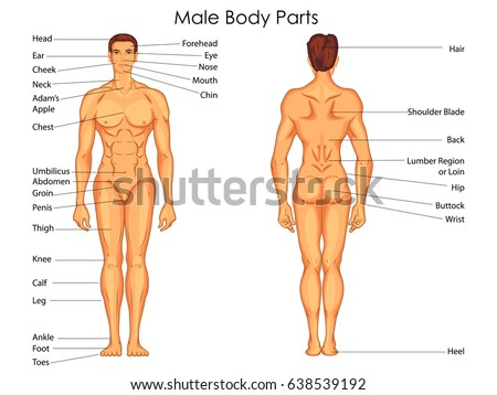 Medical Education Chart Biology Male Body Stock Vector (Royalty Free ...