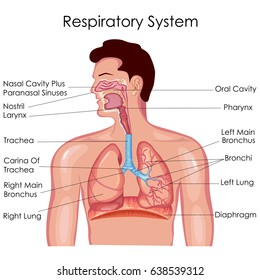 Respiratory system images stock photos vectors shutterstock medical education chart of biology for respiratory system diagram vector illustration ccuart Images