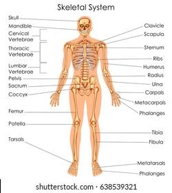 medical education chart of biology for skeletal system diagram  vector  illustration
