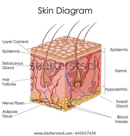 medical education chart biology skin 450w 645657634 medical education chart biology skin diagram stock vector (royalty