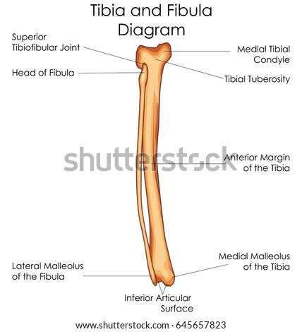 Medical Education Chart Biology Tibia Fibula Stock Vector (Royalty ...