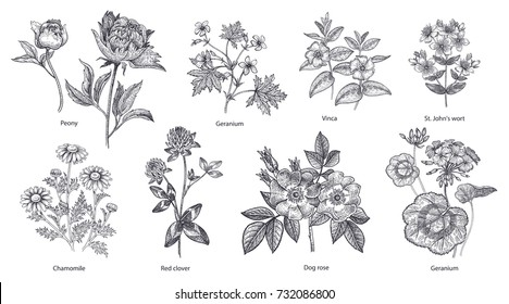 Medical herbs and plants big set. Peony flower, geranium, periwinkle, St. John's Wort, chamomile, red clover, dog rose, pelargonium isolated. Vector illustration art. Black and white. Vintage.