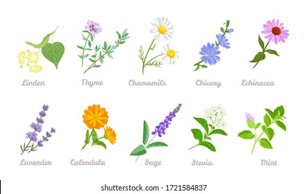 Medical herbs set. Vector flat illustration of Linden, Thyme, Chamomile, Chicory, Echinacea, Lavender, Calendula, Sage, Stevia, Mint isolated on white background. Cartoon healing plants and flowers.