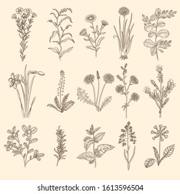Medical herbs sketch. Botanical floral therapy natural plants with leaves vector flowers collection