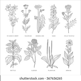 Medical Herbs Vector Set. Hannd drawn Monochrome Style