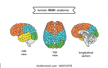 Vector human brain views brain top stock vector royalty free medical illustration of human brain human brain illustration made in vector in lineal flat style ccuart Gallery