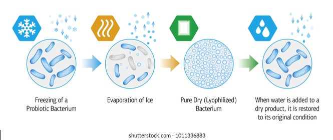 Medical illustration of the lyophilization process of probiotic bacteria.