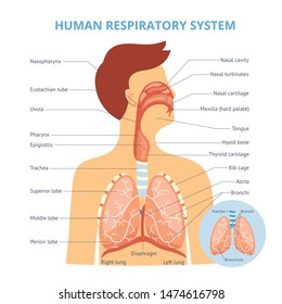 Medical infographics of the human respiratory system on the example of a man. Human respiratory system with trachea, nasal cavity and anatomy. Isolated vector flat illustration.