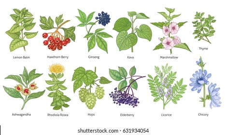 Medical plants colorful set. Lemon Balm, Hawthorn Berry, Rhodiola Rosea, Kava, Licorice, Marshmallow, Chicory, Ashwagandha, Hops, Thyme, Elderberry, Siberian ginseng. Vector illustration art. Vintage.