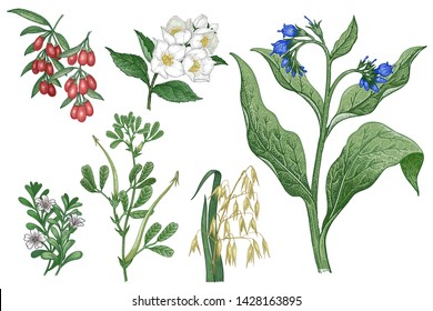 Medical plants, flowers, cereals, berries and herbs. Set. Isolated on white background. Oats, Goji, Comfrey, Fenugreek, Brahmi, Jasmine. Vintage engraving. Color Vector illustration.