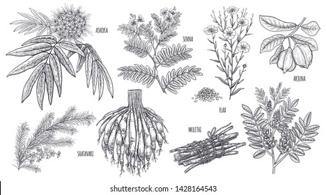Medical plants, flowers and herbs. Set. Isolated on white background. Ashoka, Senna, Shatavari, Mulethi, Flax, Arjuna. Vintage engraving. Vector illustration. Black and white.