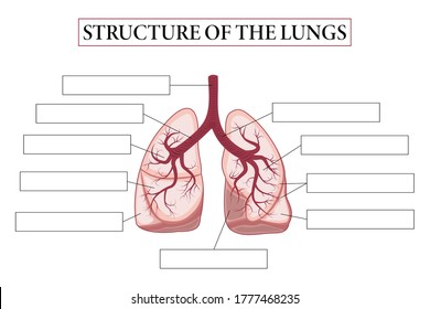 Medical structure of the lungs. Think and write. Write structure of the lungs. Learning words. Education worksheet.  Education chart of biology for lungs. Vector illustration.