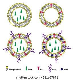 Medical vector illustration of liposomes drug delivery system