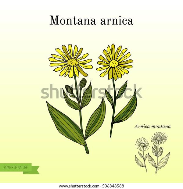 Medicinal Herb Arnica Montana Hand Drawn Stock Vector