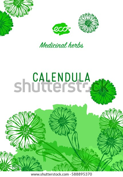Medicinal herbs banner. Calendula vector illustration. Design for eco, nature products, pharmacy cosmetics, body care product, covers, cards, packaging and more.