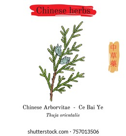 Medicinal herbs of China. Chinese Arborvitae (Thuja orientalis). Hieroglyph translation: Chinese herbal medicine