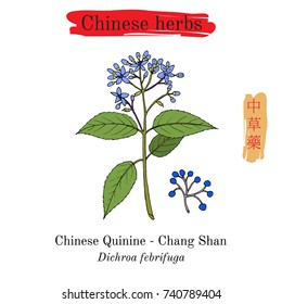 Medicinal herbs of China. Chinese Quinine (Dichroa febrifuga). Hieroglyph translation: Chinese herbal medicine