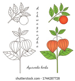 Medicinal herbs collection. Vector graphic illustration of ayurvedic plant ashwagandha on a white background