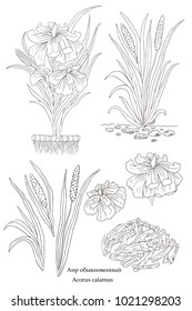 Medicinal herbs collection. Vector hand drawn illustration of a plant Acorus calamus on a white backround