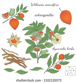 Medicinal herbs collection. Vector hand drawn illustration of ayurvedic plant ashwagandha on a white background