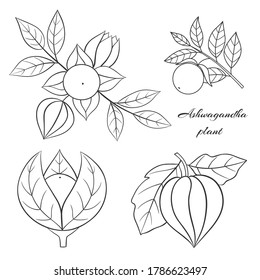 Medicinal herbs collection. Vector illustration with ayurvedic plant ashwagandha on a white background