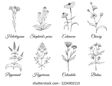 Medicinal herbs. Wild healing plants. Set vector vintage flowers. Black and white hand drawing illustration. Engravings style. Botanical illustration. Pharmacy herbs. Sketch.