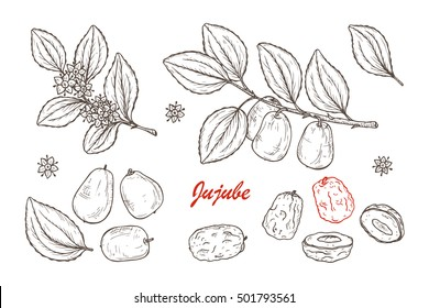 Medicinal plants Set. Exotic tropical fruit Jujube sometimes Ziziphus jujuba or zizyphus, red date, Chinese date, Korean date, Indian date. Leaves, Flowers, Berries. Alternative medicine
