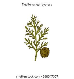 Mediterranean Cypress branch (Cupressus sempervirens). Vector illustration
