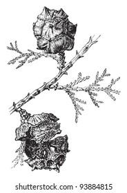 Mediterranean Cypress (Cupressus sempervirens) / vintage illustration from Meyers Konversations-Lexikon 1897