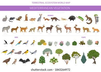 Mediterranean vegetation biome, natural region infographic. Terrestrial ecosystem world map. Animals, birds and vegetations design set. Vector illustration
