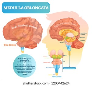 Medulla oblongata vector illustration. Labeled diagram with ventral view and core structure. Midbrain and pons position. Shown left and right cerebral cortex sides.