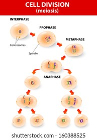meiosis. Cell division. vector diagram