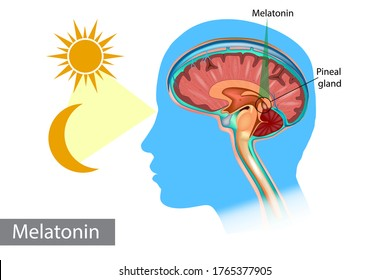 Melatonin hormone. Pineal gland anatomical cross section. Medical information poster.