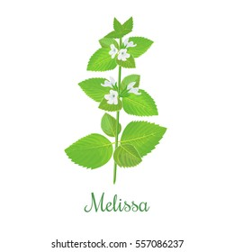 Melissa herbaceous plant. Twig of fresh Blossoming spicy herb. White flowers on a green Branch. Vector illustration. Also Lemon balm, common balm, or balm mint. For menu, cosmetics, tags, labels