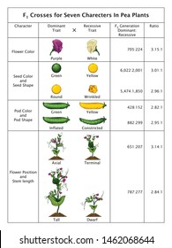 Mendel Genetic Concept Crossing  Seven Characters In Pea Plant Table With All Labels Mendel's Laws Mendel's Experiments Education Vector Illustration Diagram