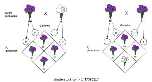 Mendel's Laws of Inheritance.Model of Mendel's law.