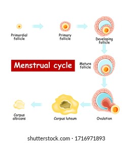 Menstrual cycle. Changes in ovary: from Developing follicle to Ovulation and Corpus luteum. Chart of Biology. vector Diagram. maturation of a follicle. Isolated on a white background.