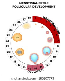 Menstrual cycle graphic, detailed follicular development illustration, menstruation and ovulation days. Isolated on a white background.