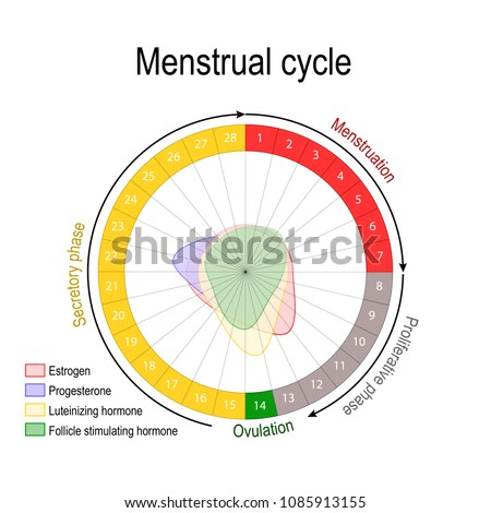 Menstrual Cycle Hormone Level Ovarian Cycle Stock Vector Royalty