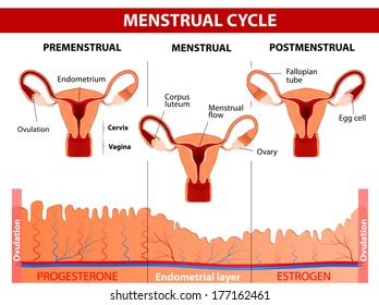 Menstrual cycle. Menstruation, Follicle phase, Ovulation and Corpus luteum phase. Vector diagram
