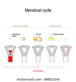 Menstrual cycle. Ovarian cycle: follicular phase and luteal phase. Uterine cycle: Secretory phase, proliferative phase and menstruation. Vector Diagram showing the progression of the menstrual cycle