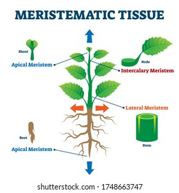 Meristematic tissue vector illustration. Labeled educational plant structure scheme. Biological description with apical, intercalary, lateral and apical meristem parts. Shoot, node, root and stem info