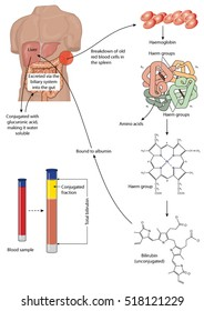 Metabolism and breakdown of red blood cells into bilirubin and amino acids